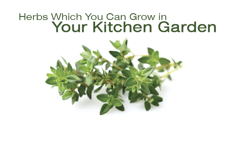 Herbs Which You Can Grow in Your Kitchen Garden