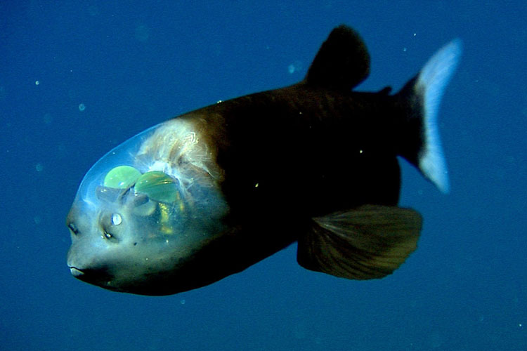 One Of The Most Bizarre Fish Among Deep-Sea Creatures