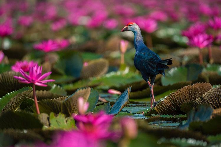 Birding Amidst Phattalung's Yor
